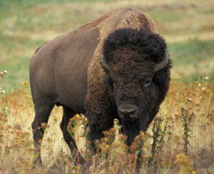 Amika, Krafttier Büffel